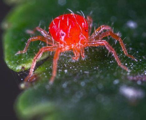 PRŠICE PRELKE (SPIDER MITES): ZNEBITE SE JIH NA ENOSTAVEN NAČIN